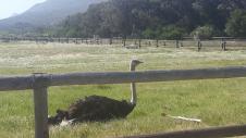 Ostrich, chilled