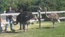 Ostriches know food when they see it!