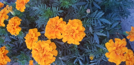 Marigolds are very popular as the flowers that fill the sidewalks and roundabouts